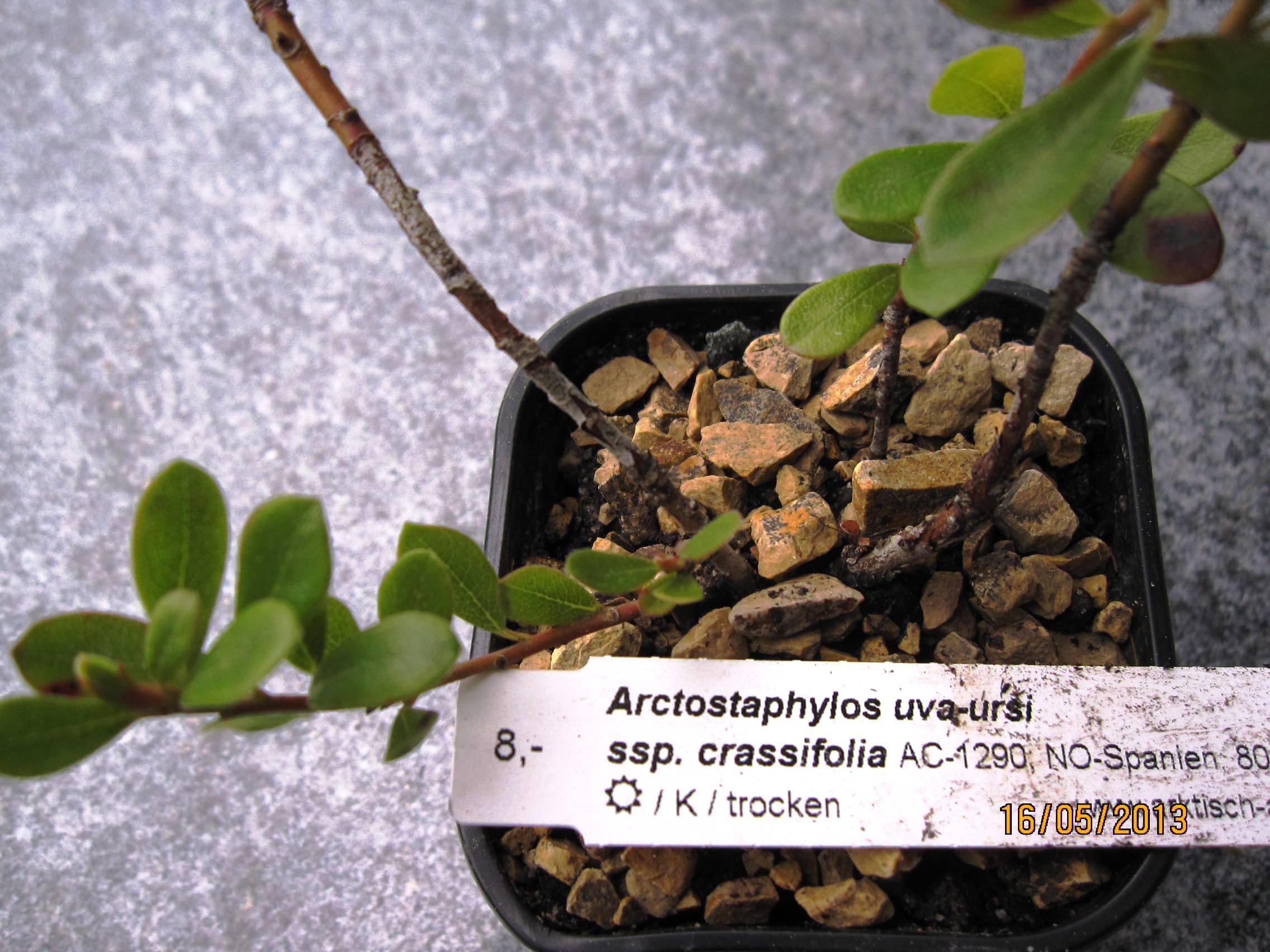 Arctostaphylos uvaursi Massachusetts  Plant Finder